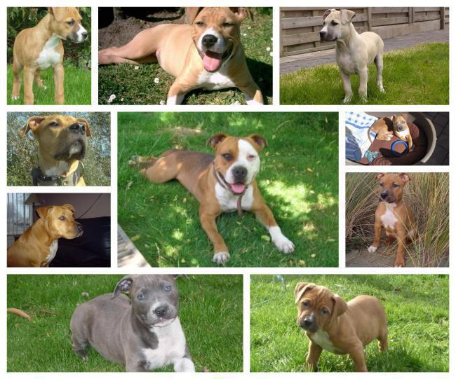 American Staffordshire Terriër puppies for sale