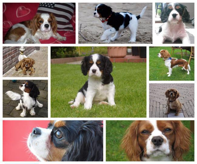 Cavalier King Charles Spaniël puppies for sale