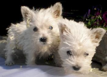 West Highland White Terrier puppies for sale, West Highland White ...