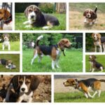 What is the price of a Beagle puppy