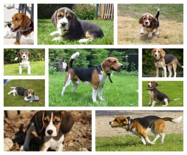 beagle breeder