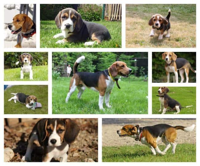 Beagle - Dog information