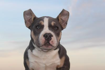 American BUlly puppies for sale Belgium Elevage des Bully
