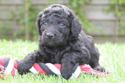 Labradoodle - Dog information