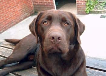 Labrador character