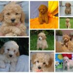 Poodle price: what does a pup cost