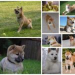 Shiba inu price: what does he cost