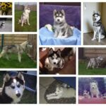 Siberian Husky puppies for sale - Belgian Husky breeder