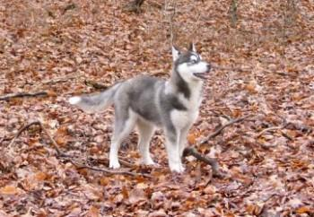 Siberain Husky in the Forest