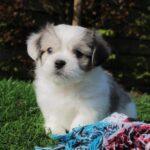 Boomer puppies, info from Belgian breeder