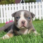 American bully, combination of a Stafford and a Bulldog