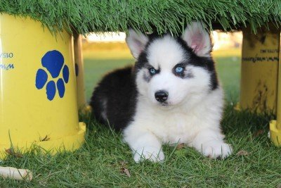 Siberian husky pups for sale