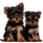 Yorkshire terrier puppies for sale - Belgium