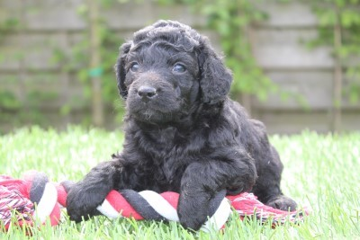 Woefkesranch, 100% Belgian puppies for sale - Woefkesranch