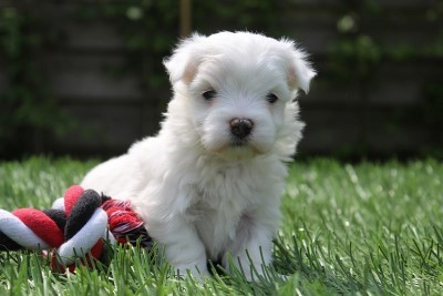 Maltese pups for sale