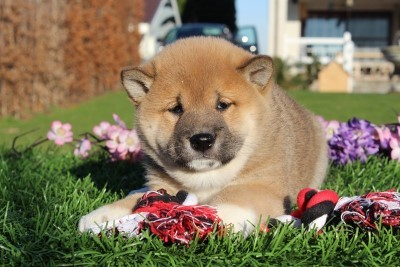 21 Reasons why Shiba inu are the best Dogs ever!