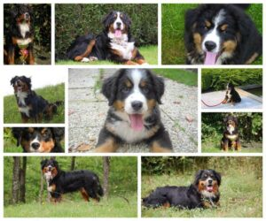 bernese mountain dog collage