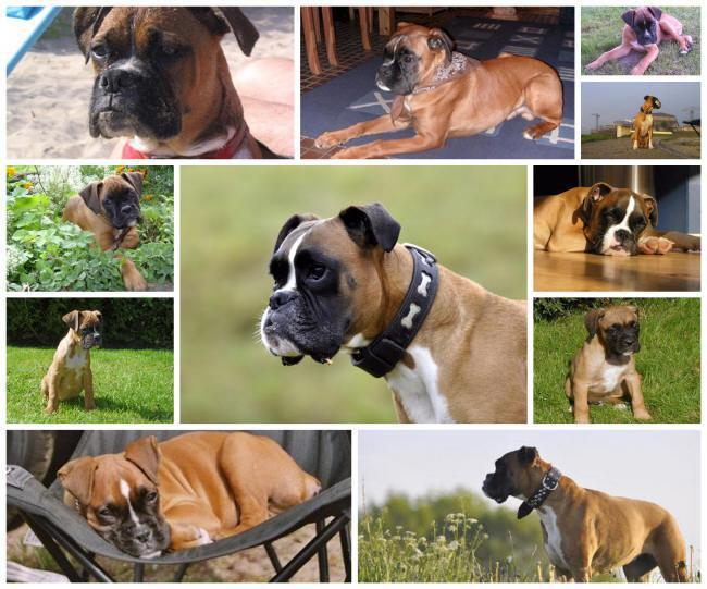 boxer collage
