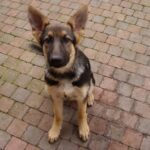 What is the price of a German Shepherd?