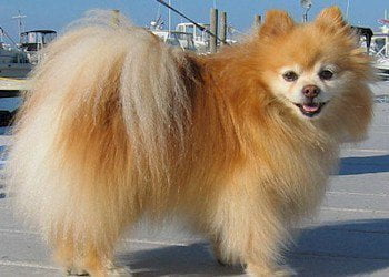 What is the price of a Pomeranian puppy?