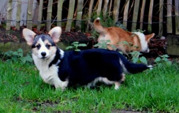 What is the price of a Welsh corgi Pembroke?