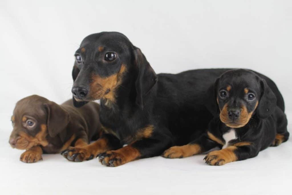 Dachshund puppies for sale from Belgian breeder - Woefkesranch