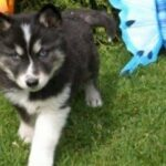 What is the price of a Siberian Husky