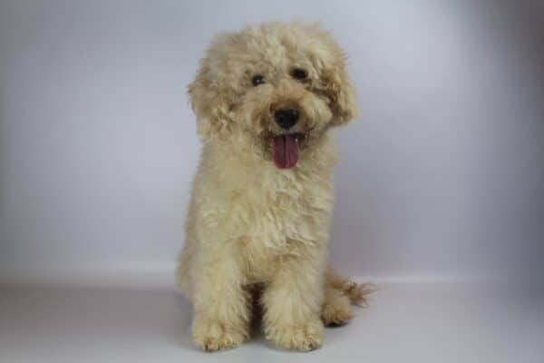 labradoodle price can be high
