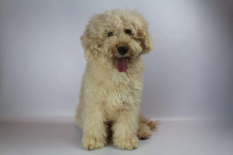 Labradoodle without a waiting list: a good idea?