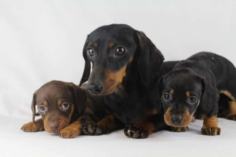 Dachshund puppies for sale from Belgian breeder
