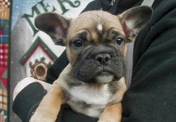 French Bulldog price: what does he cost