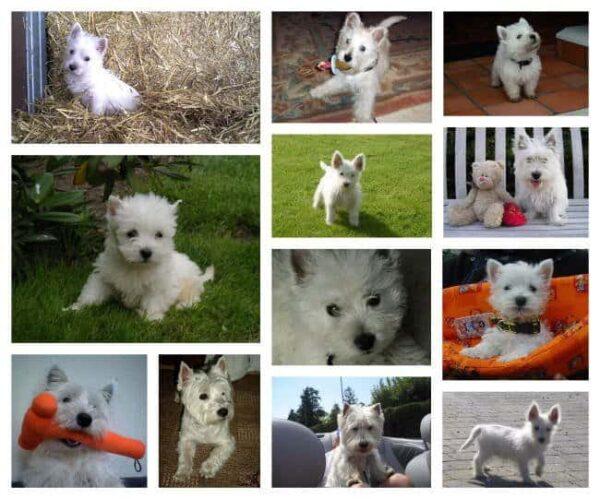 west highland white terrier collage