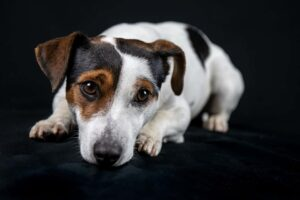 jack russell 3855427 1920