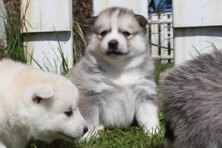 The Pomsky a cross between Siberian Husky and the Pomeranian