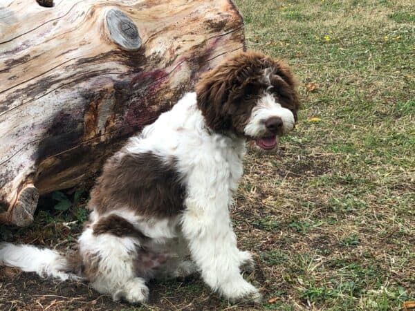 Lagotto romagnolo young