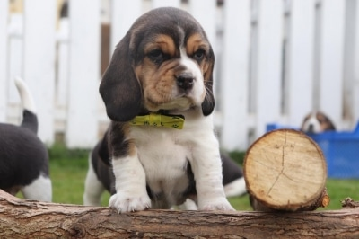 What is the character of a beagle
