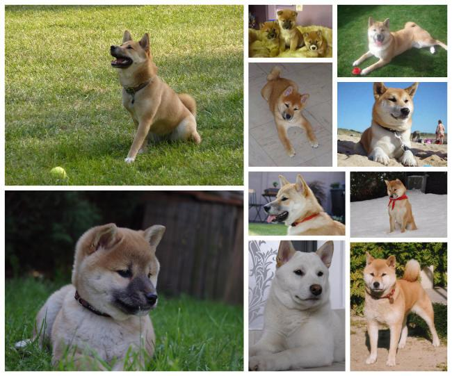 Reliable Shiba inu breeder with Belgian puppies