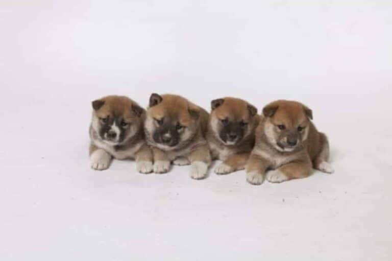 Shiba Inu puppy for sale, info from Belgian breeder