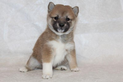 The meaning of the name Shiba Inu
