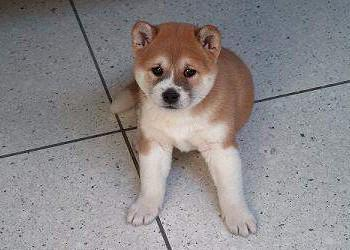 What is the price of a Shiba Inu puppy