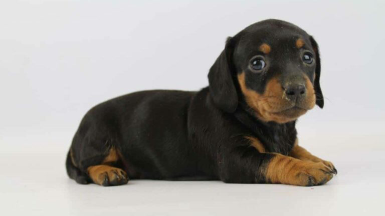 Character of a Dachshund, what temperament to expect