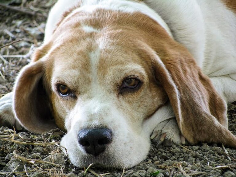 What is the average lifespan of a beagle?