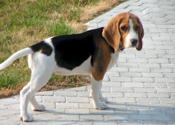 What is the average size of a beagle?